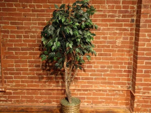 Six Foot Ficus Tree available at Pittsburgh Furniture Leasing